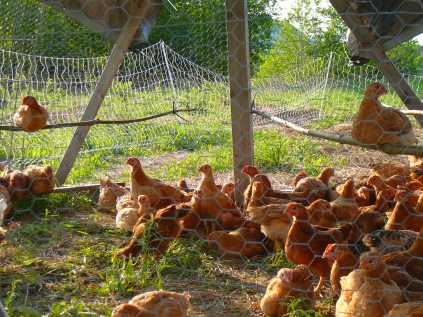 Freedom Ranger chickens lounging in the shade on a hot day.