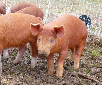 Beautiful Hereford/Mulefoot cross piglets