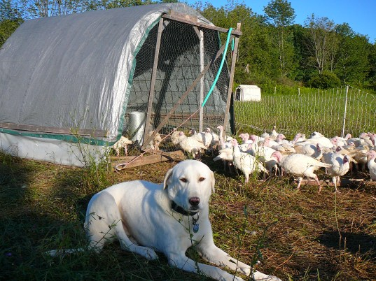 Our Akbash guardian dog, Derin, watching over his feathered charges.
