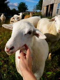 """""""No tag,"""" the only ewe I've named, is the flock liaison."""