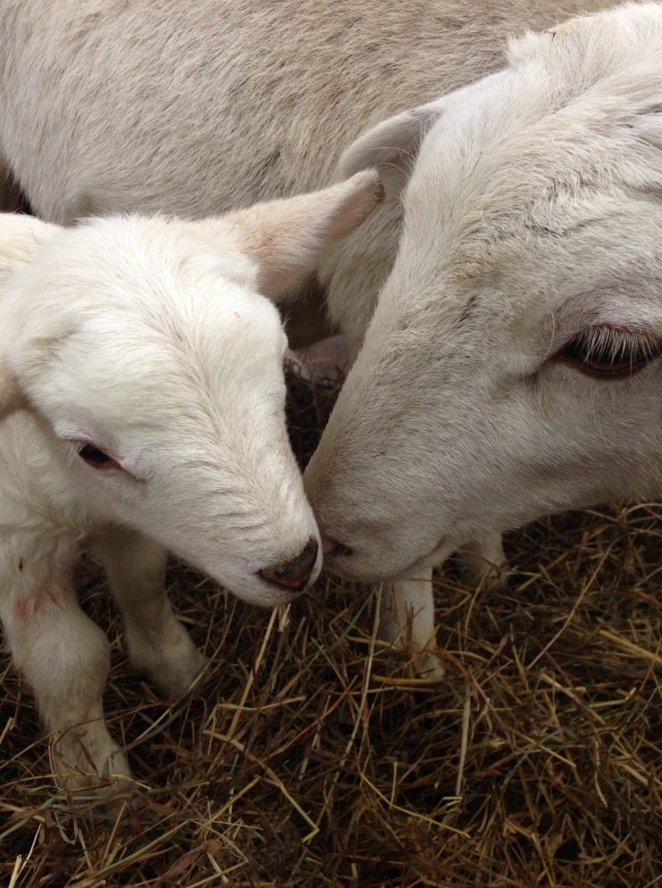 First lamb born on our farm!